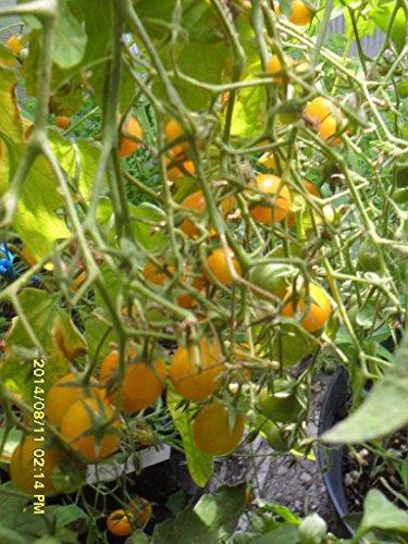 Famous Hungarian Tomato