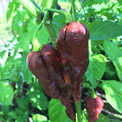 30+ Chocolate Naga Viper Pepper Seeds, used for sale  Delivered anywhere in USA