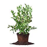 TIFBLUE BLUEBERRY - Size: 1-2 ft, live plant, includes special blend fertilizer & planting guide