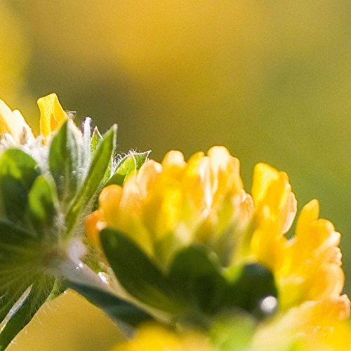 Kidney Vetch (Anthyllis vulneraria) 20+ Rare Medicinal Herb Seeds + FREE Bonus 6 Variety Seed Pack - a $29.95 Value! Packed in FROZEN SEED CAPSULES for ...
