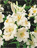 3 : Garthwaite Nurseries Lilium Candidum Bulbs (Madonna Lily) Pure White Highly Scented Garden Perennial (3)