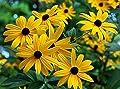 1000+ Black-Eyed Susan Rudbeckia Hirta Gloriosa Daisy Flower Seeds, Yellow, Biennial, Beautiful! From USA