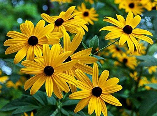 (1000+ Black-Eyed Susan Rudbeckia Hirta Gloriosa Daisy Flower Seeds, Yellow, Biennial, Beautiful! From USA)
