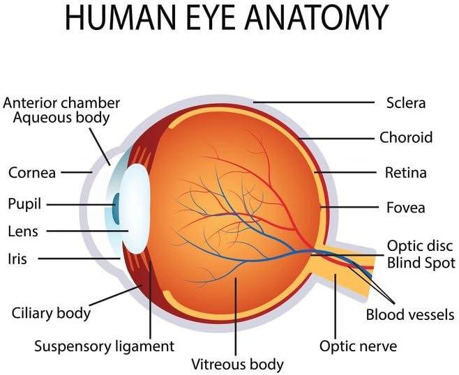 Human Eye Anatomy Classroom Diagram Educational Chart Laminated Dry Erase Sign Poster 30x46 Amazon Co Uk Kitchen Home