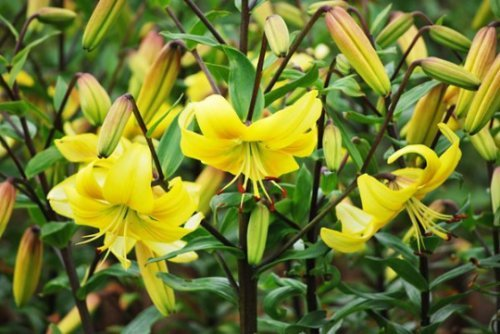 Yellow Power Asiatic Lily (4 bulbs) Pots and Planters,Cut Flowers. Perennial
