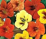 NASTURTIUM JEWEL MIX Tropaeolum Majus - 500 Bulk Seeds