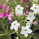 Nicotiana alata Jasmine Tobacco BULK 1000+ seeds