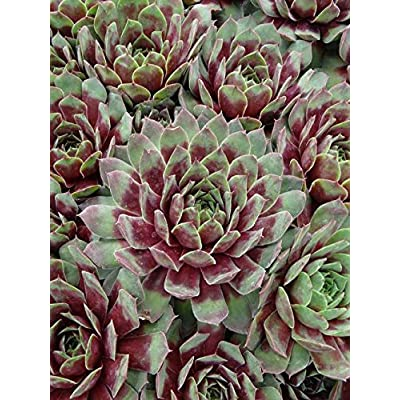 50 Sempervivum Ruby Heart Plants Hens and Chicks Cactus Succulents Zone 3-9 : Garden & Outdoor