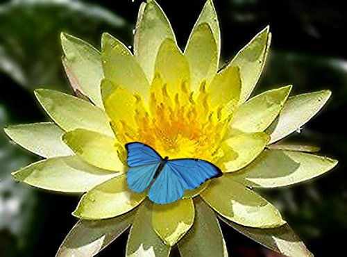 Live Aquatic Plant Nymphaea Inner LightLIGHT YELLOW Color HARDY Water Lily TUBER for Aquarium Freshwater Fish Pond BUY 2 GET 1 FREE by JustNature
