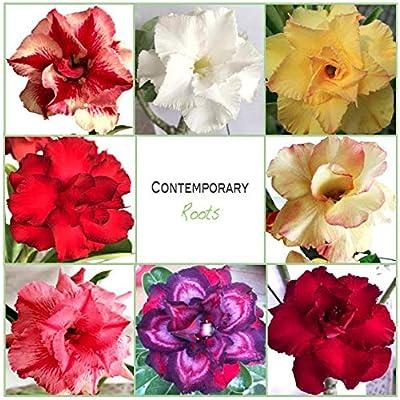 Desert Rose ADENIUM OBESUM Double Petal Flower - 50 Seeds - Beautiful and Rare! : Garden & Outdoor