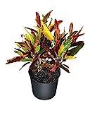 PlantVine Codiaeum variegatum 'Stoplight', Croton - Large - 8-10 Inch Pot (3 Gallon), Live Indoor Plant