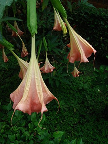 Amazon 12 Seeds Brugmansia Suaveolens Pink Angels Trumpet