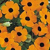 Thunbergia Alata Sunrise Orange 20 Seeds Garden Seeds 2u