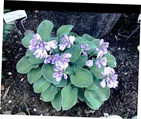 Amazoncom Ricji Root 1x 3 Bare Root Starter Plant Blue Mouse