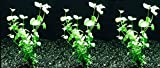 3 Bunches of Mint Charlie (Clinopodium brownei) by Aquarium Plants Galore