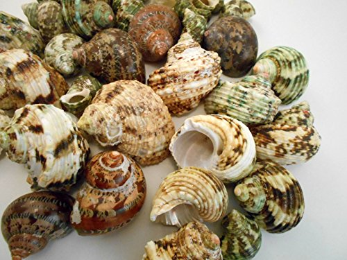 30-Select-Assorted-Turbo-Hermit-Crab-Shells-Lot-34-2-size-opening-58-1-Seashells-Includes-Polished-Tapestry-Turbos-Silver-Turbos-Silver-Mouth-Turbos-and-more