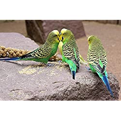 Gifts Delight LAMINATED 33x22 inches POSTER: Budgie Bird Parakeet Animals Wildlife Photography Ziervogel Feather Creature Parrot Color Plumage Food Nature Animal World Small Bird Sababurg Castle Zoo