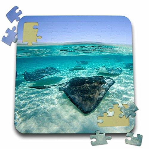 Danita Delimont - Marine Life - Cayman Islands, Southern Stingray in Caribbean Sea-CA42 PSO0044 - Paul Souders - 10x10 Inch Puzzle (pzl_73261_2) Southern Stingray Dasyatis Americana