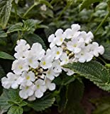 cutdek Trailing White Lantana - Lantana montevidensis Alba - Planted in 2.5 inch pots