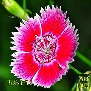 semillas de clavel coloridos bordados semillas de bambú de bambú bebaizhen diez tipos de clavel estadounidense sobre 100 1