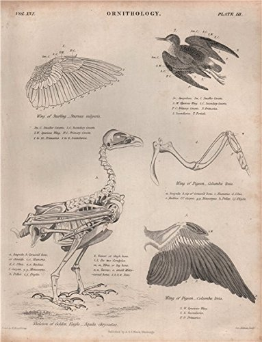 Starling Sturnus vulgaris pigeon Columba livia wing. Golden Eagle skeleton - 1860 - old print - antique print - vintage print - Birds art prints ()