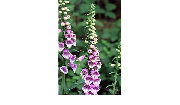 nuez v/ómica 100 Semillas de Strychnos nux-vomica /Árbol de la estricnina Asklepios-seeds/®