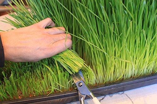 Certified Organic Wheatgrass Growing Kit - Grow & Juice Wheat Grass: Trays, Seed, Soil, Mineral Fertilizer & More...