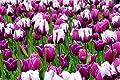 1000 Bulbs Tulip Seattle Triumph Collection
