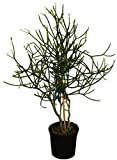 AMERICAN PLANT EXCHANGE Pencil Cactus Tree XL Indoor/Outdoor Live Plant, 2.5 Height, 1 Gallon Container