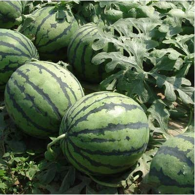 Watermelon Seeds, Sweet Delicious Fruit Melon Seeds for Home Garden : Garden & Outdoor