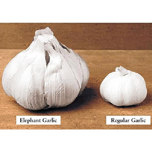 Jumbo Elephant Garlic (1 Large Heirloom Bulbs) Untreated,Organic!
