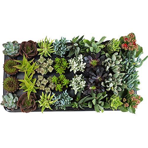 Altman Plants Assorted Live Tray mini succulents bulk for planters, 2.5'', 32 Pack by Altman Plants (Image #2)