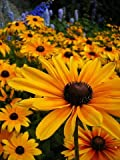 Black-Eyed Susan - 100 Seeds, 250 mg - Rudbeckia