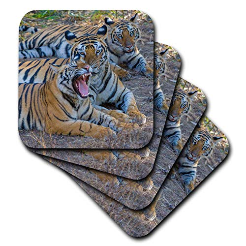 - 3dRose Danita Delimont - Tigers - Bengal tigers, Bandhavgarh National Park, India - set of 4 Coasters - Soft (cst_312704_1)
