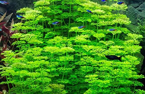 Limnophila Sessiliflora Ambulia -Planta Plantado Acuario: Amazon.es: Productos para mascotas