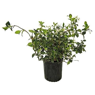 AMPLEX Confederate Jasmine Vine Live Plant, 3 gallon, Creeping Vine : Garden & Outdoor