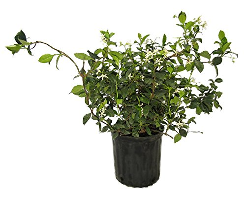 AMPLEX Confederate Jasmine Vine Live Plant, 3 gallon, Creeping Vine