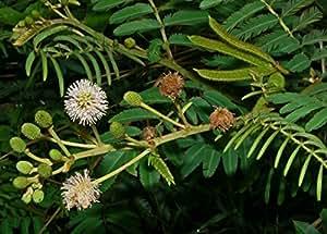 Mimosa diplotricha MIMOSA Seeds!