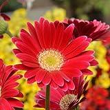 LovelyGarden GERBERA DAISY GARVINEA SWEET SIXTEEN - 2 LIVE PLANTS - 3.5'' POT