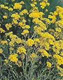 Euphorbia cyparissias 1,000 Seeds Need More? Ask