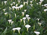 4 Good Size FRESH Bulb Rhizome White Calla Lily Flower Tuber
