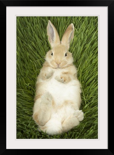 Amazoncom Greatbigcanvas Rabbit Laying In Grass Photographic