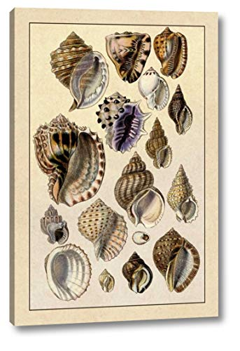 (Shells: Purpurifera by G.B. Sowerby - 15