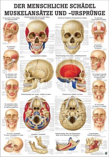 Sport-Tec Der Schä del - Muskelansä tze und Ursprü nge Lehrtafel Anatomie 100x70 cm 70 cm x 100 cm Papier Ruediger Anatomie TA66