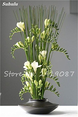 20 Pcs Freesias Seeds Colorful Fragrant Flower Plant Gorgeous Seeds Charming Flower Plant Seeds Plant For Garden 7