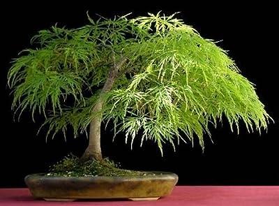 Lace Leaf Japanese Maple, Acer Palmatum Dissectum, Tree 10 Seeds