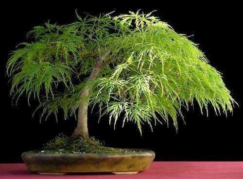 Lace Leaf Japanese Maple, Acer Palmatum Dissectum, Tree 10 Seeds (Wispy Leaf)
