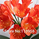 All Chinese know famous Flower Bush Lily's Seed also named Clivia miniata Regel/Kaffir Lily Easy plant beautiful Leaf & Flower
