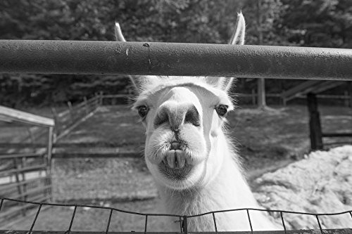 24 x 36 B&W Giclee Print of A llama with unattractive teeth at the petting zoo of the Heritage Farm Museum and Village, in Harveytown, West Virginia, just south of downtown Huntingt 2015 Highsmith 40a