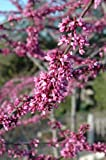MN Single Strain Redbud> Cercis canadensis 'MN Strain'> Landscape Ready 7 gallon Container